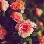 roseied