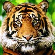 tiger0532